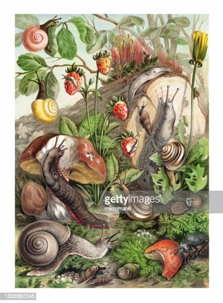 old chromolithograph illustration of land molluscs, snails - illustration stock pictures, royalty-free photos & images