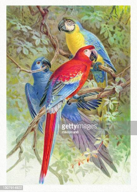 old chromolithograph illustration of macaws - lithograph stock pictures, royalty-free photos & images