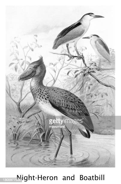 old chromolithograph illustration of ornithology - night heron and boat-billed heron - lithograph stock pictures, royalty-free photos & images