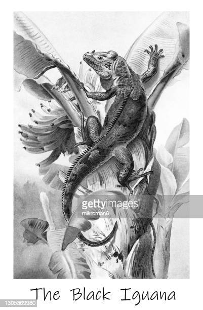 old chromolithograph illustration of the black spiny-tailed iguana, black iguana, or black ctenosaur (ctenosaura similis) - lithograph stock pictures, royalty-free photos & images