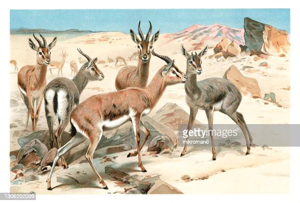 old chromolithograph illustration of the dorcas gazelle, ariel gazelle (gazella dorcas) - lithograph stock pictures, royalty-free photos & images