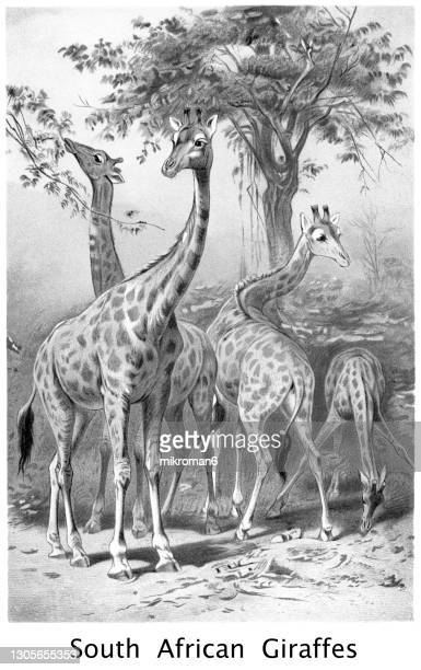 old chromolithograph illustration of the south african giraffe or cape giraffe (giraffa camelopardalis giraffa) - lithograph stock pictures, royalty-free photos & images