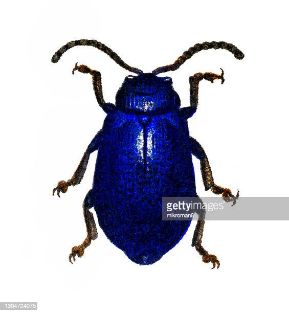 old chromolithograph of entomology, alder leaf beetle (agelastica alni) - lithograph stock pictures, royalty-free photos & images