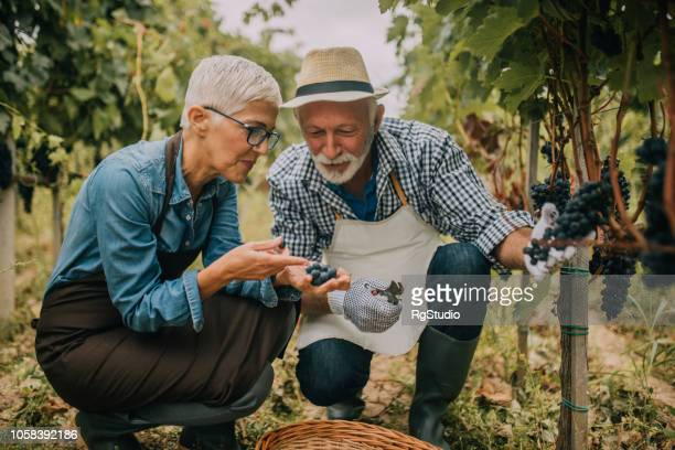 old couple picking grapes in the plantation - viniculture stock pictures, royalty-free photos & images