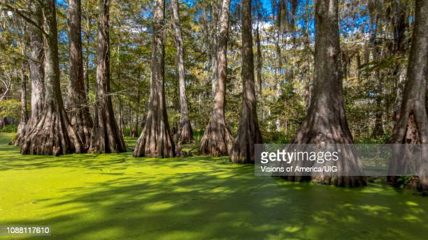 old cypress trees in cajun swamp & lake martin, near breaux bridge and lafayette louisiana - lafayette louisiana stock pictures, royalty-free photos & images