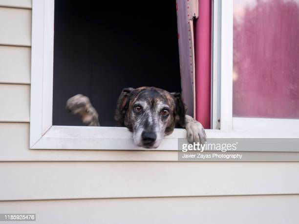 old dog looking out the window and waving - waving stock pictures, royalty-free photos & images