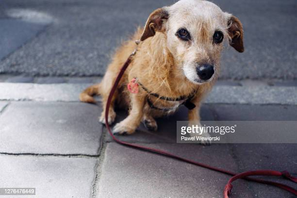 old dog - leash stock pictures, royalty-free photos & images