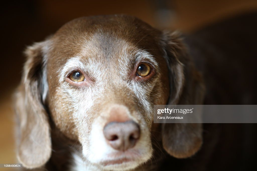 Old Dog with Brown and White Fur Looks at Camera : Stock Photo