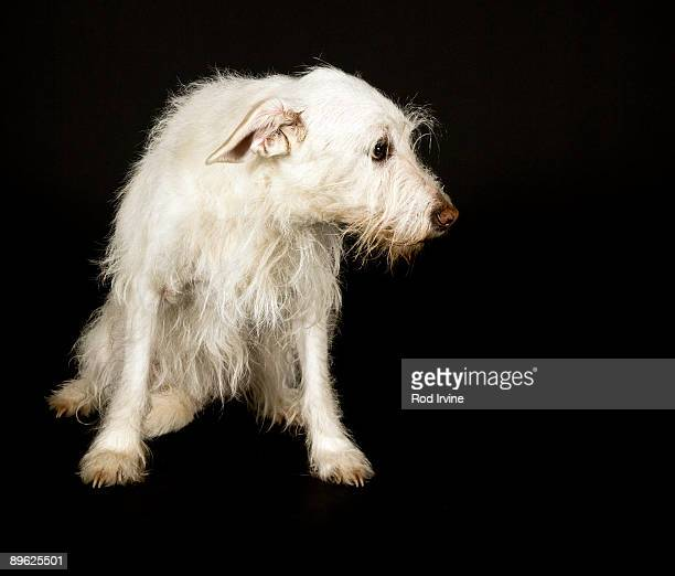Old Dog With Shaggy White Coat And Sad Expression