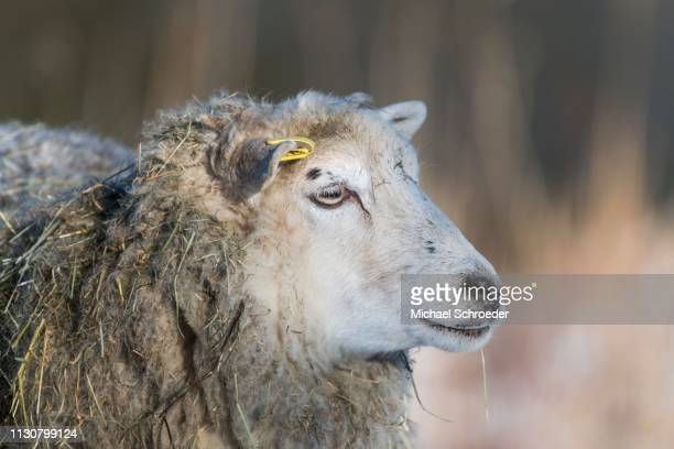 Old domestic sheep breed Skudde in winter, red list, animal portrait, captive, Brandenburg, Germany