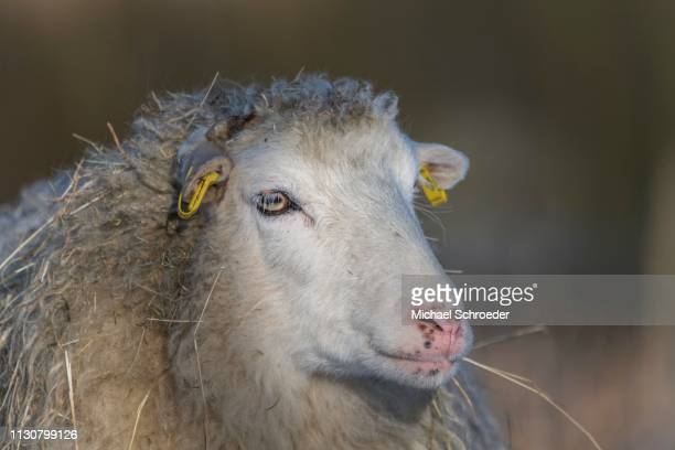 old domestic sheep breed skudde in winter, red list, animal portrait, captive, brandenburg, germany - skudde stock pictures, royalty-free photos & images