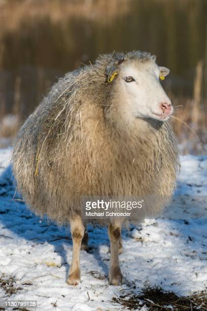 old domestic sheep breed skudde in winter, red list, in snow, captive, brandenburg, germany - skudde stock pictures, royalty-free photos & images