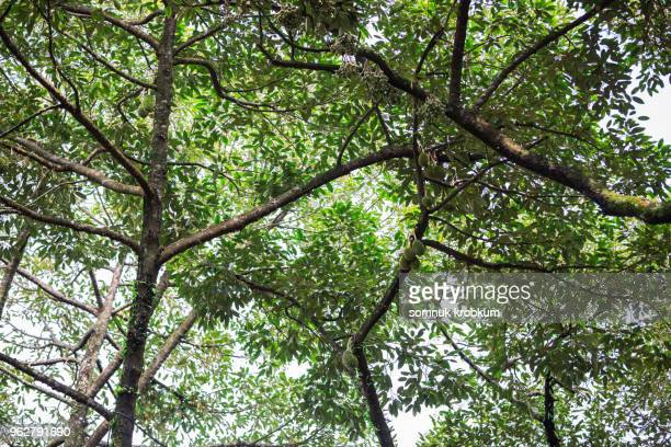 old durian trees - tree with thorns on trunk stock photos and pictures