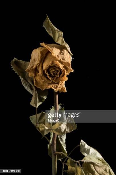 old dying yellow rose - dead rotten fotografías e imágenes de stock