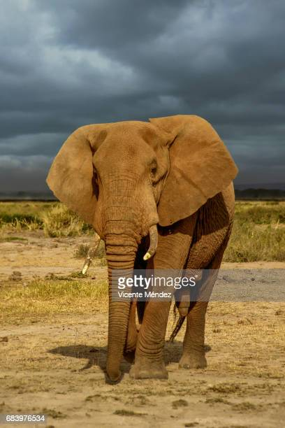 Old elephant, Amboseli National Park (Kenya)