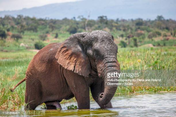 old elephant bull in akagera national park - animal erections stock pictures, royalty-free photos & images