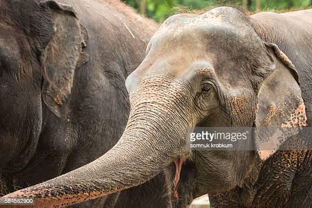 Old elephant;Thailand.