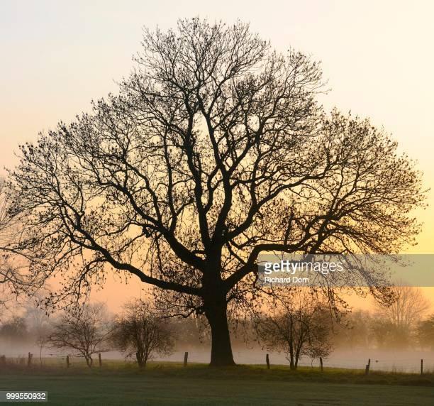 Old English Oak (Quercus robur) at dawn, fog, Rheinberg, Niederrhein, North Rhine-Westphalia, Germany