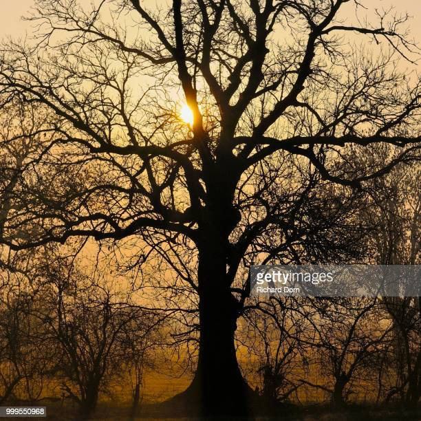 Old English Oak (Quercus robur) at sunrise, Rheinberg, Niederrhein, North Rhine-Westphalia, Germany