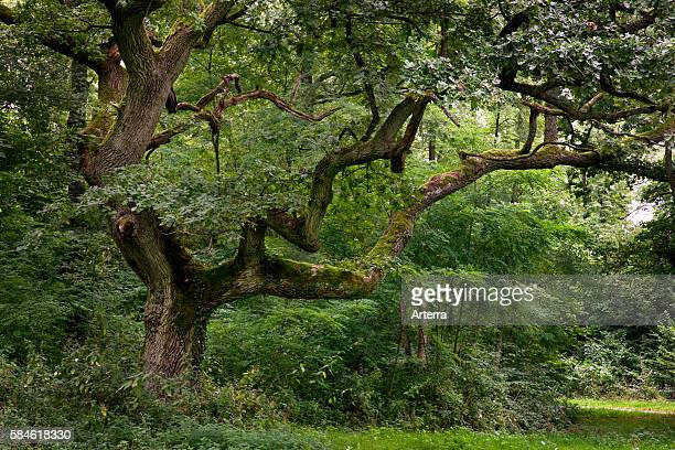 Old English oak / pedunculate oak / French oak in forest