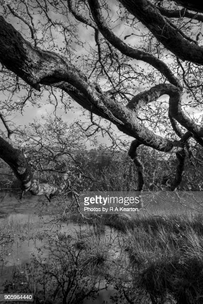 Old English Oak trees hanging over a lake