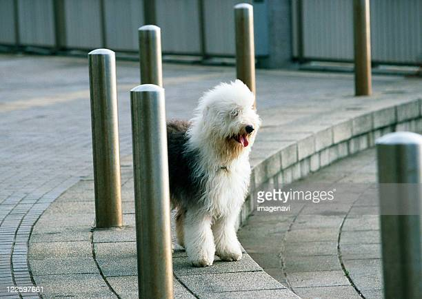 old english sheep dog - old english sheepdog stock pictures, royalty-free photos & images