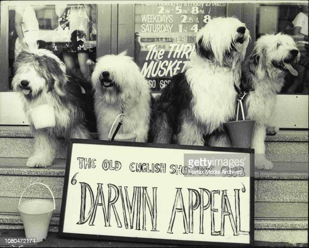 4 Old English Sheep Dogs Samantha Sally Lord Byron and Boadicea sit in the Chatswood Hoyts theatre steps awaiting any donationsThe Old English Sheep...