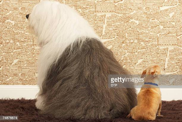 Old English sheepdog and small dog sitting together, rear view