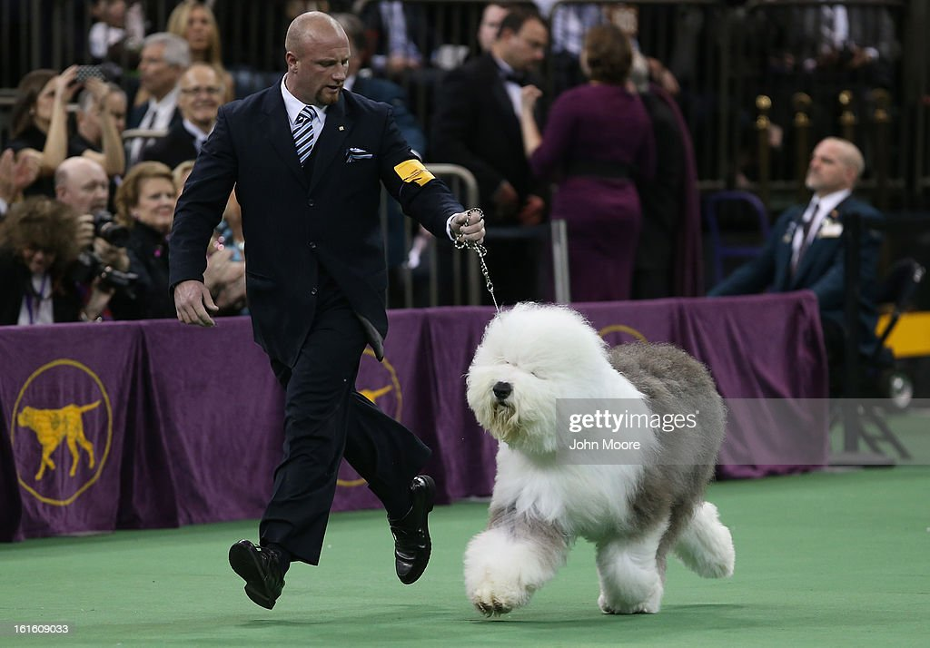 Old English Sheepdog Bugaboo's Perfect runs during the 137th Westminster Kennel Club Dog Show on February 12, 2013 in New York City. A total of 2,721 dogs from 187 breeds and varieties competed in the event, hailed by organizers as the second oldest sporting competition in America, after the Kentucky Derby.