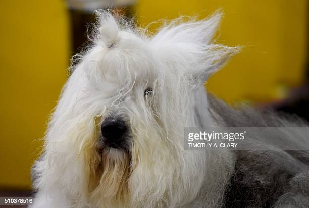 A Old English Sheepdog is seen in the grooming area February 15 2016 in New York during the first day of competition at the Westminster Kennel Club...