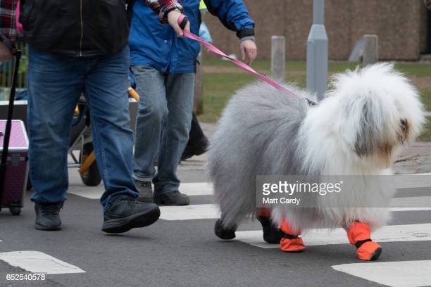 Old English Sheepdog leaves the show on the final day of the Crufts Dog Show at the NEC Arena on March 12 2017 in Birmingham England First held in...