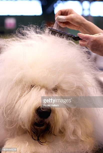 Old English Sheepdog named Tory is groomed by owner Julie Kirby during the final day at Crufts Dog Show on March 10 2013 in Birmingham England During...