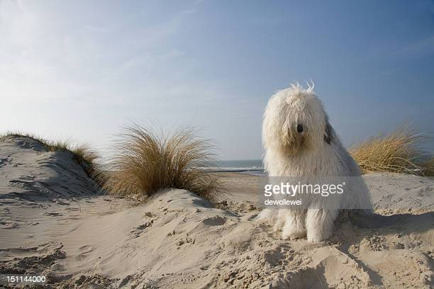 old english sheepdog - old english sheepdog stock pictures, royalty-free photos & images