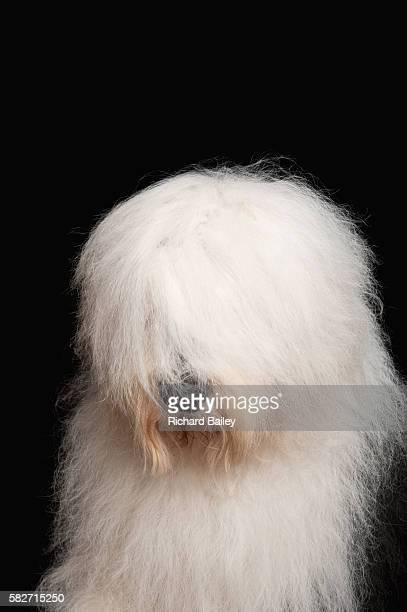 old english sheepdog - fluffy stock pictures, royalty-free photos & images