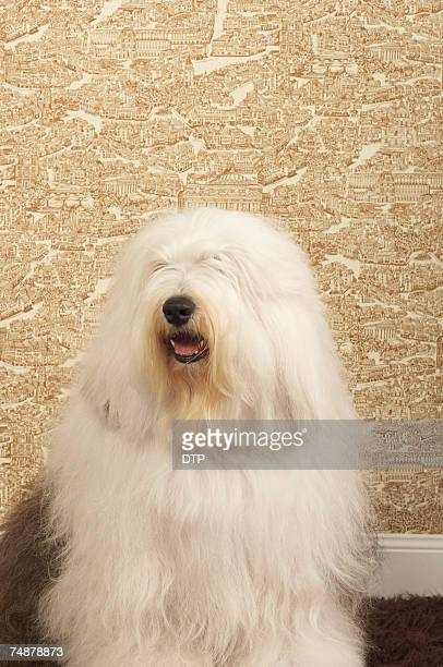 Old English sheepdog sitting in room