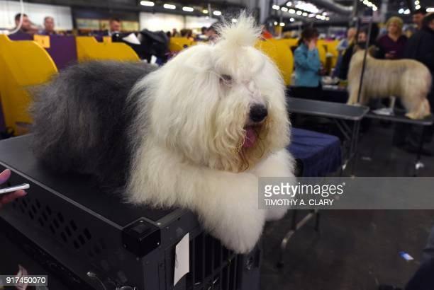 A Old English Sheepdog waits in the benching area on Day One of competition at the Westminster Kennel Club 142nd Annual Dog Show in New York on...