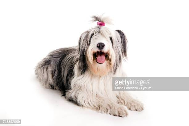 old english sheepdog with sticking out tongue sitting on white background - old english sheepdog stock pictures, royalty-free photos & images