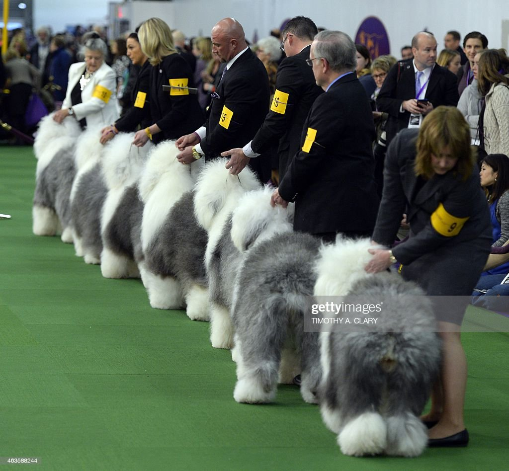 US-WESTMINSTER DOG SHOW : News Photo