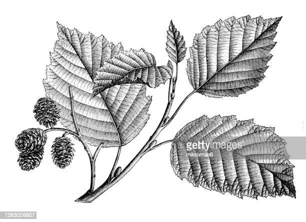 old engraved illustration of a alder tree, foliage and acorns - erle stock-fotos und bilder