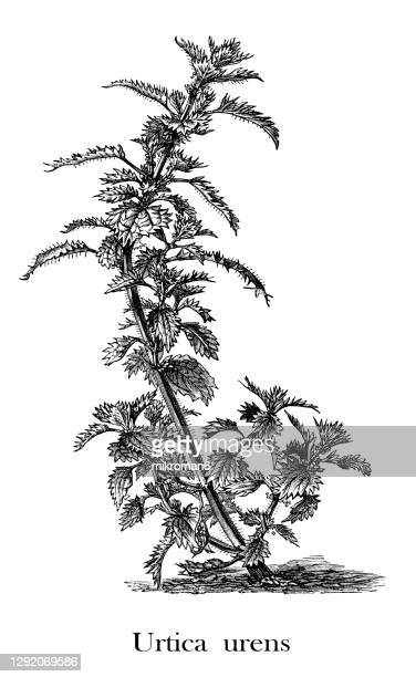 old engraved illustration of a annual nettle (urtica urens) - イラクサ ストックフォトと画像