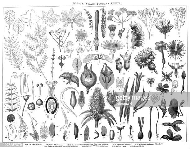 old engraved illustration of a botany - leaves, flowers, fruits. antique illustration, popular encyclopedia published 1894. copyright has expired on this artwork - botanica foto e immagini stock