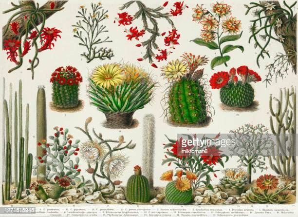 old engraved illustration of a cactus plants - シャコバサボテン ストックフォトと画像