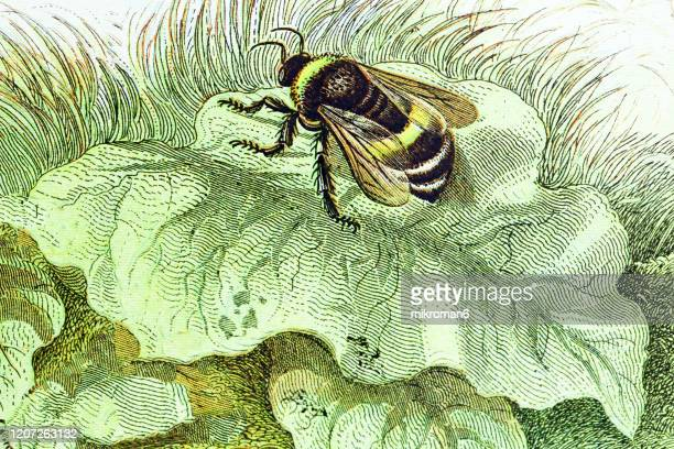 old engraved illustration of a common humble bee. antique illustration, popular encyclopedia published 1894. copyright has expired on this artwork - calabrone foto e immagini stock