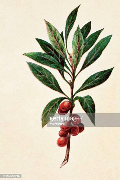 old engraved illustration of a daphne mezereum - poisonous plants - illustration stock pictures, royalty-free photos & images