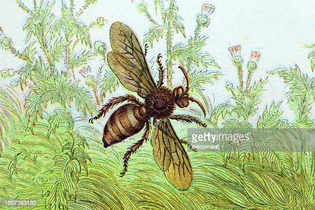 old engraved illustration of a drone is a male honey bee. antique illustration, popular encyclopedia published 1894. copyright has expired on this artwork - illustration stock pictures, royalty-free photos & images