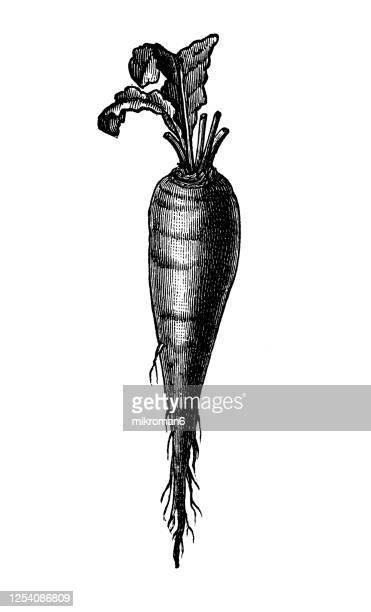 old engraved illustration of a erfurt long red beetroot - vegetable plants - organic stock pictures, royalty-free photos & images