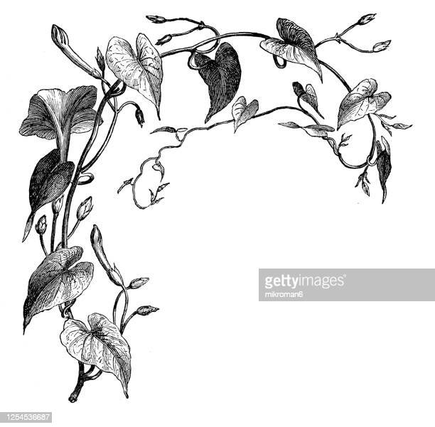 old engraved illustration of a ipomoea purga, jalap plant - medicinal plants - illustration stock pictures, royalty-free photos & images