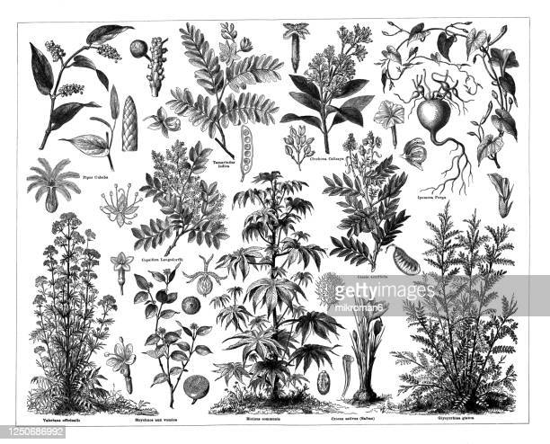 old engraved illustration of a medicinal plants - valerian plant stock pictures, royalty-free photos & images