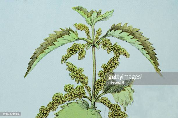 old engraved illustration of a nettle plant. antique illustration, popular encyclopedia published 1894. copyright has expired on this artwork - illustration stock pictures, royalty-free photos & images