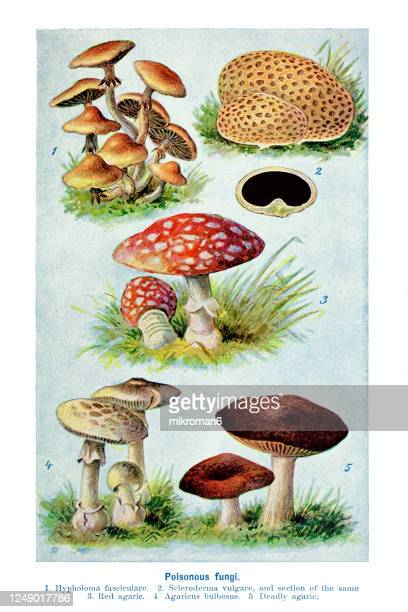 old engraved illustration of a poisonous fungi, mushrooms - toxic substance stock pictures, royalty-free photos & images